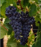 Menu k vinobraní