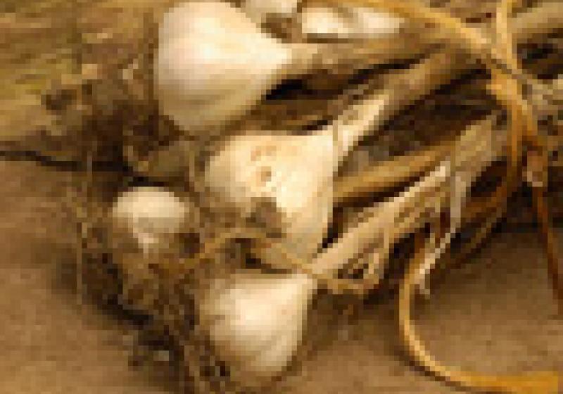 Jak snadno sekat česnek