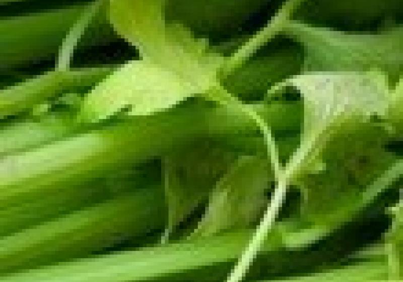 Jak skladovat řapíkatý celer