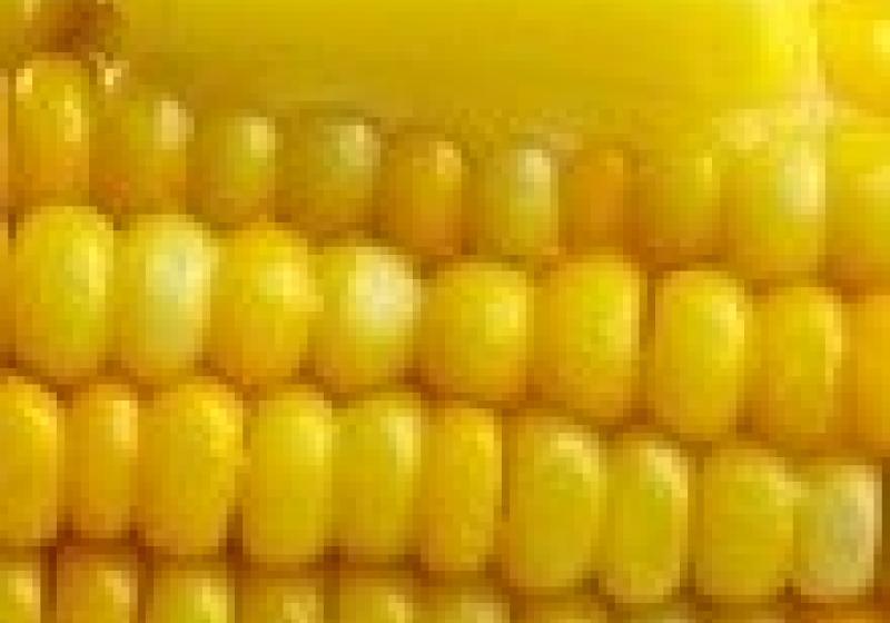 Kdy solit kukuřici