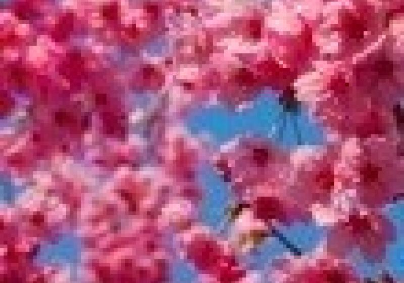 Večer ve znamení kvetoucí sakury