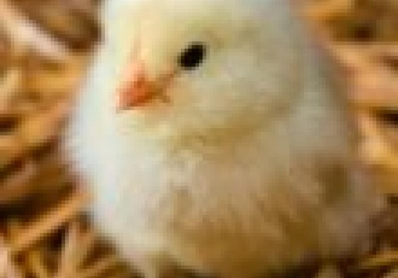 Jak se žije šťastným kuřatům