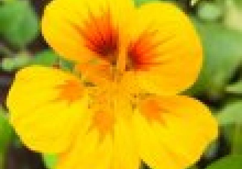 Vypěstujte si: jedlé květy lichořeřišnice