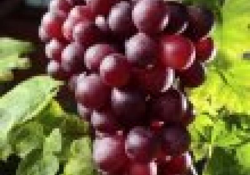 Tradiční oslavy vína v Mikulově. Nepropaste Pálavské vinobraní