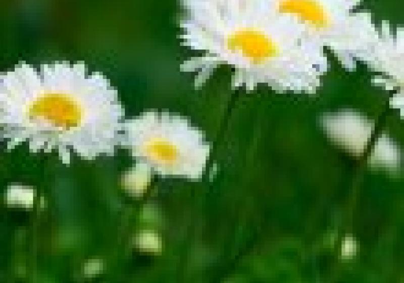 Jedlé květiny: sedmikrásky