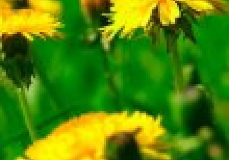 Jedlé květiny: pampelišky