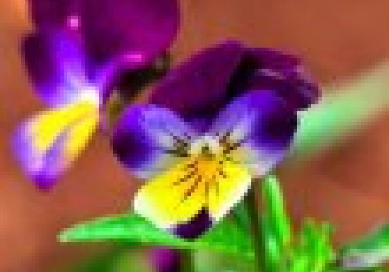 Jedlé květiny: violky