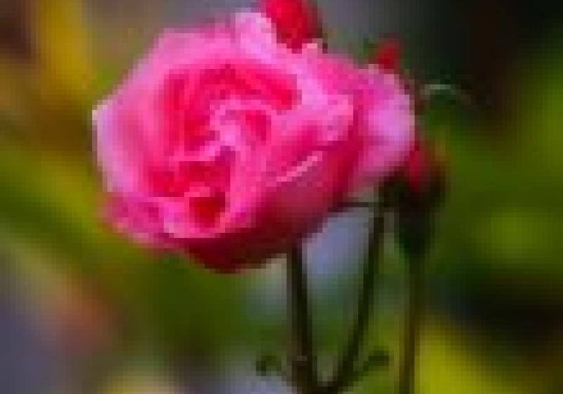Jedlé květiny: růže