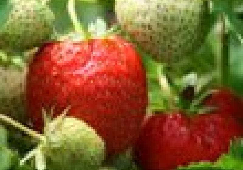 Odstopkování jahod