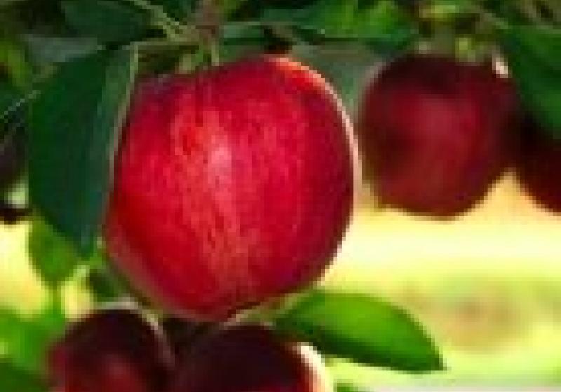 Jablečné hody